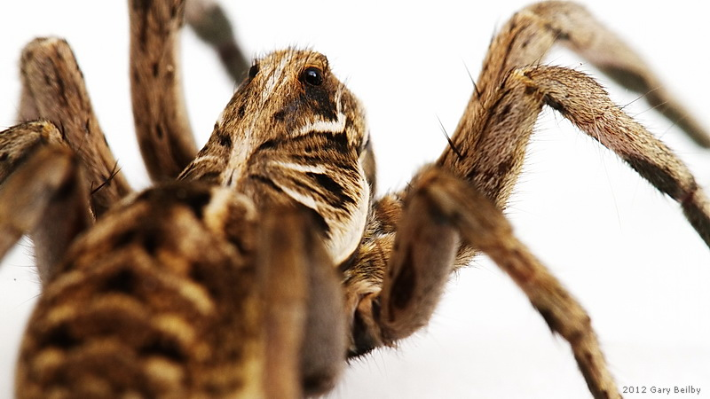 Eyes in the back of her head - Wolf spider