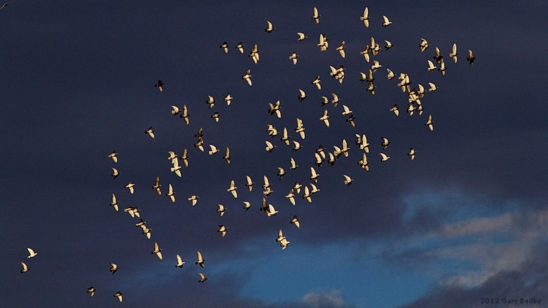 A flock of pigeons wheel over Forrestfield